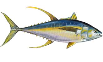 tonno pinna giallo