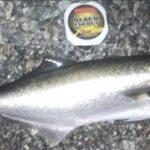 Come pescare il pesce serra