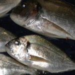 Come pescare le orate a feeder