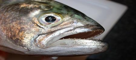Pesce serra attacca bagnate
