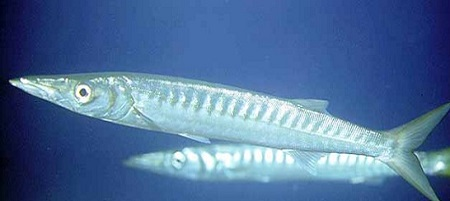 dove pescare il barracuda boccagialla