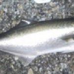 dove pescare il pesce serra
