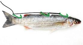 ami per innesco del pesce serra