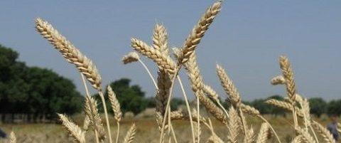 preparare il grano