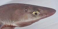 testa del pesce spinarolo