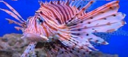 Puntura del pesce scorpione