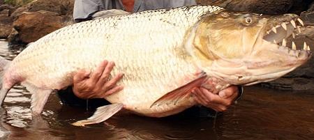 Come e dove pescare il pesce tigre