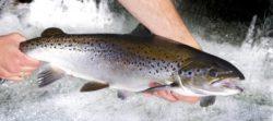 Come e dove pescare il salmone