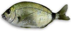 consigli per la pesca al sarago