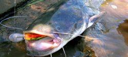 Periodo migliore per pescare il pesce siluro