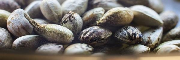 Come preparare le granaglie canapa