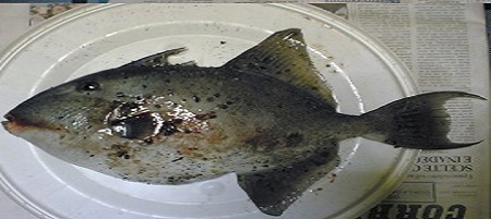 montature per pescare il pesce balestra